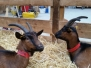Les chèvres