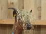 Les chèvres en folie