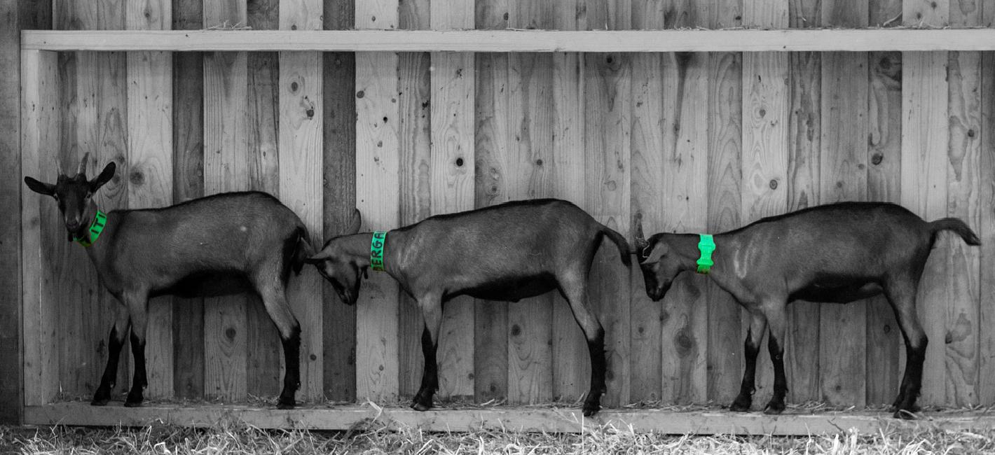 Nos chèvres